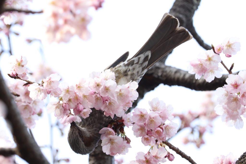 意外と知らない桜の穴場!?川口市にある密蔵院にいってきた!
